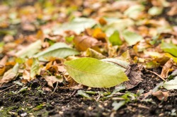 Autumn leaves on a meadow. Fallen leaves in the grass.