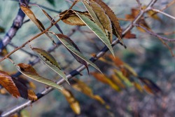 Autumn leaves on the branches of sweet cherry (Prunus avium or bigarro) at dusk in a strong wind. Selective focus.