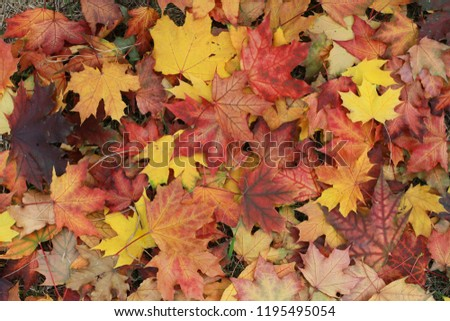 Autumn leaves on the ground. Fall background concept. Maple, red, yellow foliage, September, October, November, Indian summer