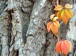 autumn leaves on tree bark background Fall leaves on tree