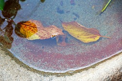 AUTUMN LEAVES UNDER WATER IN A BIRD BATH