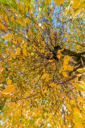autumn leaves yellowed willow tree. photographing from below