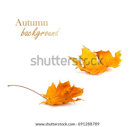 Shutterstock Autumn maple branch with leaves isolated on  white background