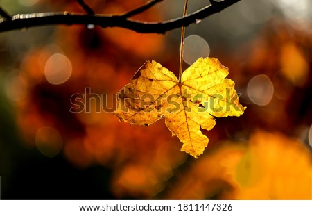 Photo of  Autumn maple leaf close up. Golden autumn maple leaf. Maple leaf in autumn. Autumn maple leaf
