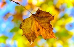 Autumn maple leaf close view. Maple leaf in autumn fall. Autumn fall maple leaf. Autumn fall maple leaf close up