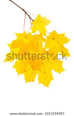 Stock Photo autumn maple leaf isolated on white background