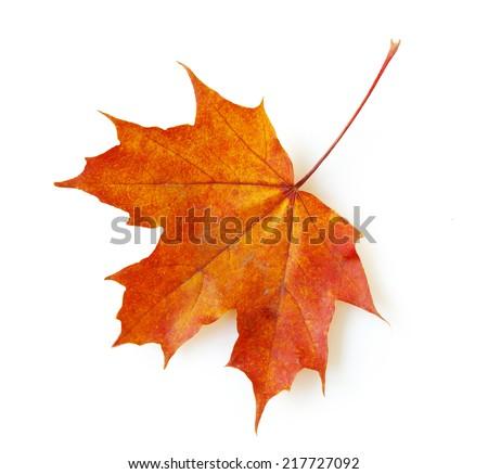 autumn maple leaf isolated on white background #217727092