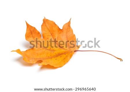 Autumn maple leaf isolated on white background. #296965640