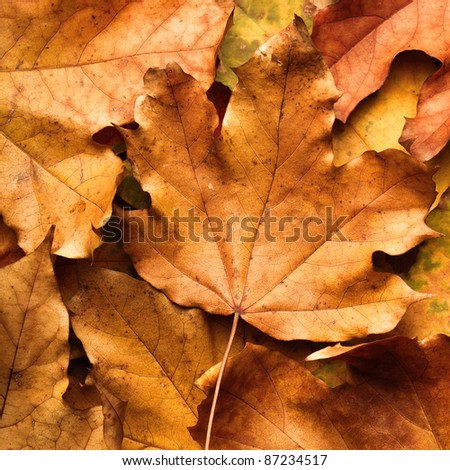 autumn maple leaf on leaves background