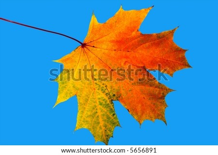 Autumn maple leave on a blue background