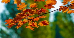 Autumn maple leaves. Autumn colors and gifted mood. September October November is one of the richest, brightest and most vivid colors.