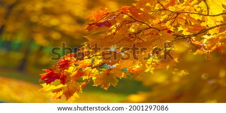Autumn maple leaves. Autumn colors and gifted mood. September October November is one of the richest, brightest and most vivid colors. Foto d'archivio ©