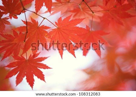 Autumn maple leaves background