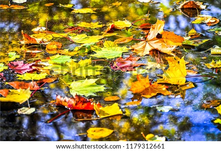 Autumn maple leaves in puddle of water. Puddle water autumn maple leaves. Autumn maple leaves in water. Autumn maple leaves fall