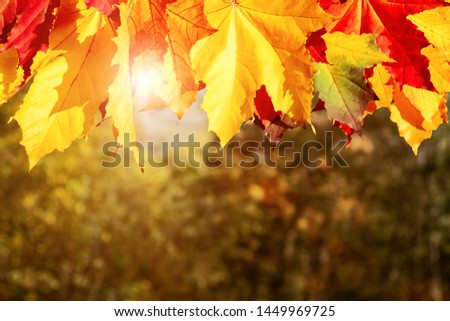 Autumn maple leaves in the forest in the rays of the setting sun - beautiful autumn background