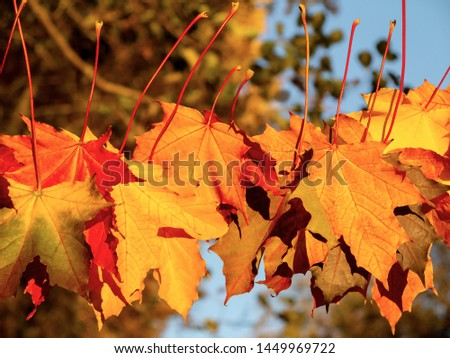Autumn maple leaves in the forest on a rope in the rays of the setting sun - beautiful autumn background
