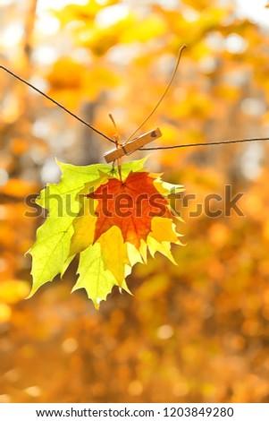 autumn maple leaves on clothespin. october card.  beautiful autumn composition in park. autumn season.  soft selective focus. #1203849280
