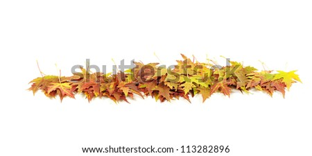 autumn maple leaves on white
