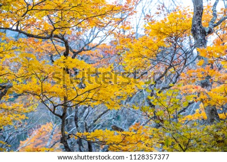 Autumn, Maple leaves orange and red In summer the leaves change color at Nikko in Japan #1128357377