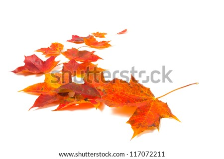autumn maple leaves over white background