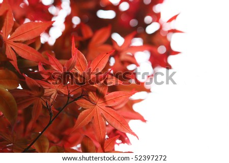 autumn maple on white background