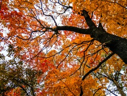 Autumn maple tree branches view. Autumn tree branches background. Autumn tree branches. Autumn tree branches leaves