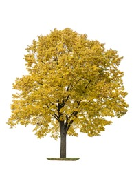Autumn maple tree isolated on white background. Yellow leaves