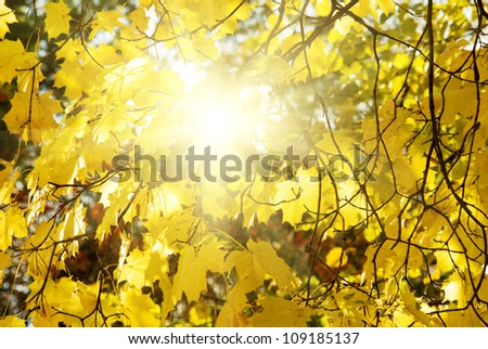 Autumn maple tree with yellow (orange) leaves on sunset background with sun, beautiful nature landscape