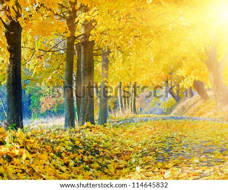 autumn maple trees in autumn city park and evening sunshine behind the tree foliage