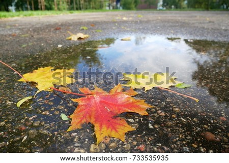 autumn maples tree leaf in water