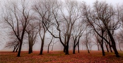 Autumn misty  forest trees silhouettes. Misty forest in autumn. Autumn forest mist. Mist forest in autumn fall