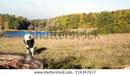 Autumn morning in rural areas against a cow of the wood and the lake