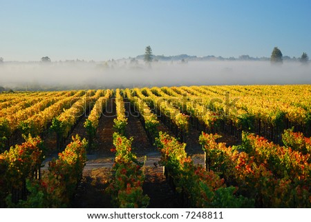 Autumn morning vineyard