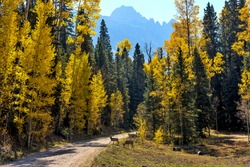 Autumn Mountain Forest - Two young mule deer wandering crossing a backcountry road in a dense Autumn forest at base of rugged Sneffels Range. Uncompahgre National Forest, Ridgway-Telluride, CO, USA.