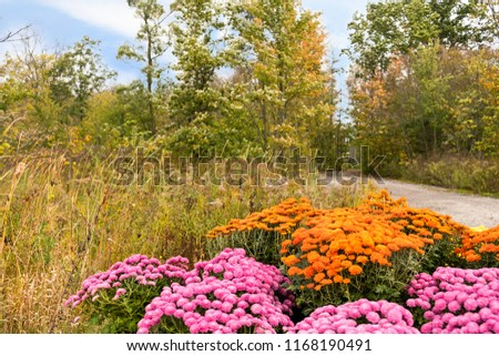 Autumn mums, colorful roadside display, #1168190491