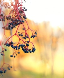 autumn nature background with wild grape berries. Fall, thanksgiving day concept. golden Autumn season