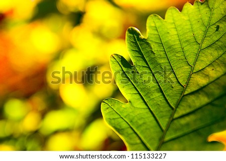 autumn oak leaf with sunny background, very shallow depth of field