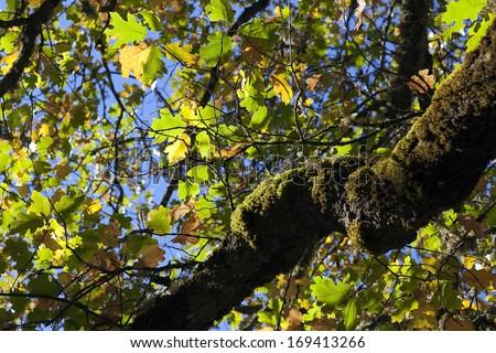 Autumn oak leaves against blue sky, and mossy oak tree.
