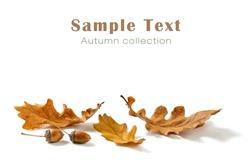 Autumn oak leaves and acorns isolated on white background