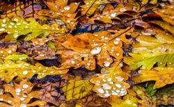 Autumn oak leaves frozen view. Oak leaves in autumn scene. Autumn oak leaves scene. Autumn oak leafs view