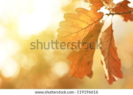 Autumn Oak Leaves In Sunrise Light. Natural Background.