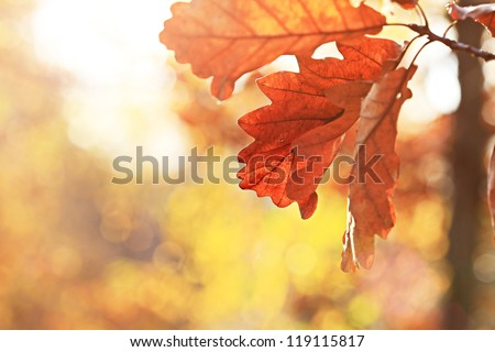 Autumn oak leaves. Natural background.