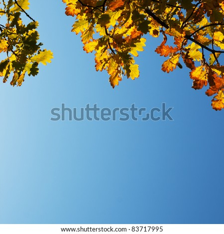 Autumn Oak Leaves on blue sky background with copy space