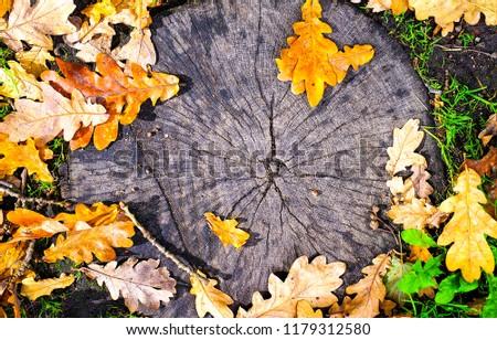 Autumn oak leaves on tree stump. Autumn oak leaves background. Oak leaves on tree stump in autumn. Autumn oak leaves