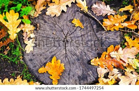 Autumn oak leaves on tree stump. Oak leafes background