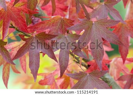 autumn or fall leaves and foliage of liquidambar tree