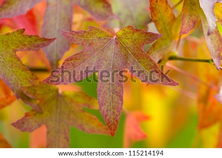 autumn or fall leaves and foliage of liquidambar tree
