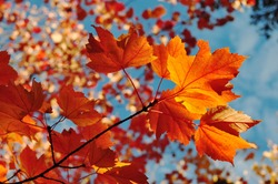 Autumn or fall orange and red maple leaves with blue sky in the background. Autumn concept from Newfoundland, Canada