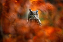 Autumn orange wildlife, detail portrait of owl in the forest. Eurasian Eagle Owl, Bubo Bubo, sitting tree trunk, wildlife fall photo in the wood with orange autumn colours, Germany. Bird habitat.