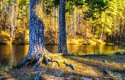 Autumn pine tree forest river shore scene. Pine tree forest in autumn. Autumn pine tree forest river shore view